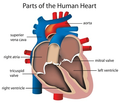 An illustration of a heart.